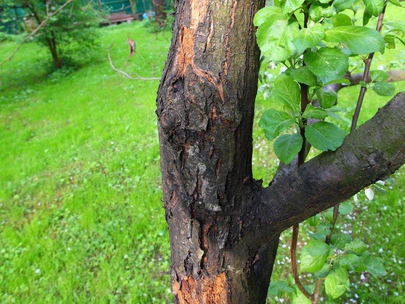 На коре дерева  появляются серые вдавленные маслянистые пятна (фото)