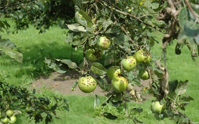 Болезнь плодовых деревьев парша: фото и лечение