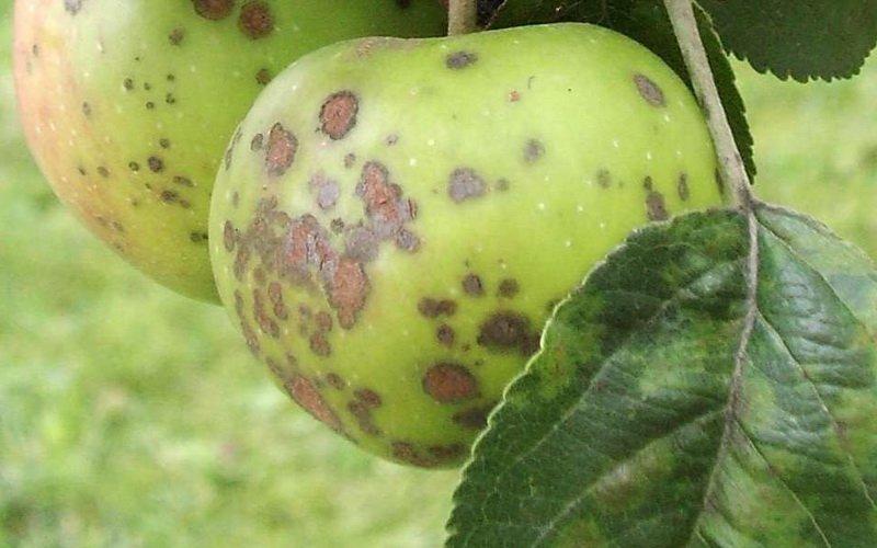 Болезнь плодовых деревьев парша: фото и лечение фото
