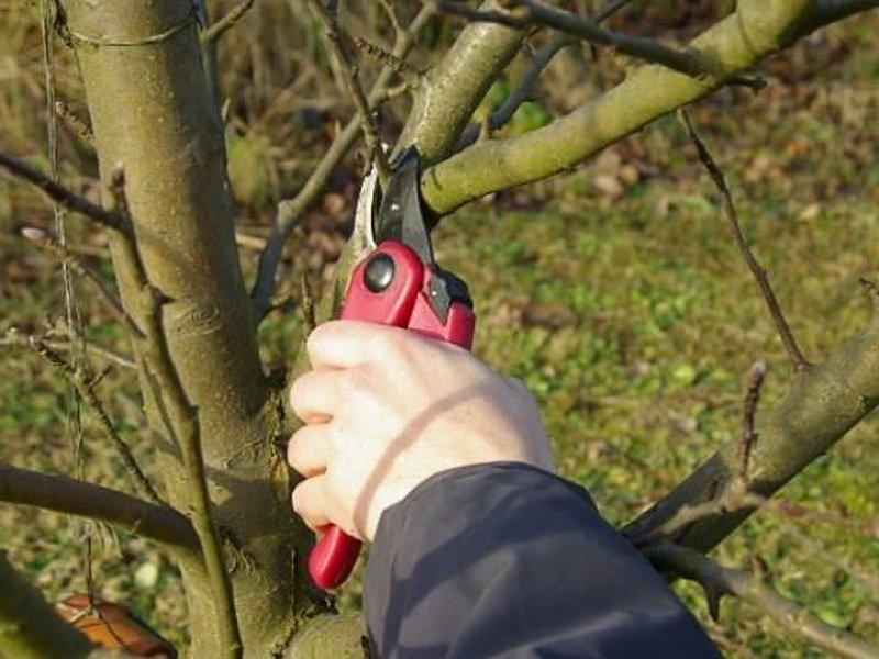 От болезни парша необходимо уничтожение зараженных листьев, плодов и веток (фото)