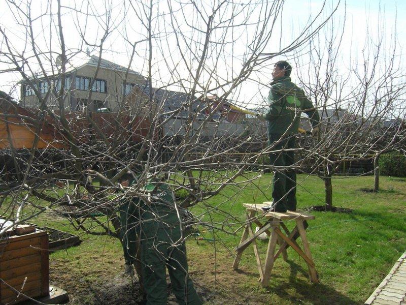 От болезни плодовая гниль нужна вырезка сухих ветвей (фото)