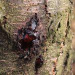 Болезни косточковых плодовых культур