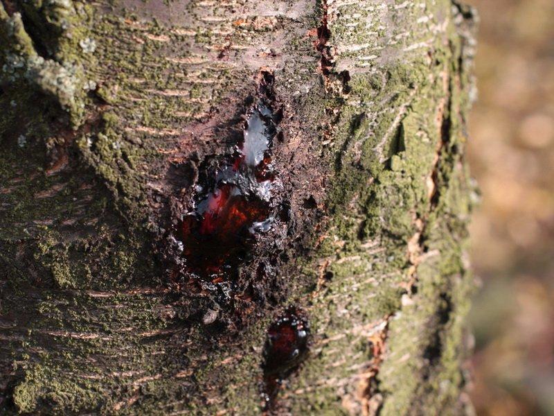 При  камедетечение  поражаются  ветви или стволы дерева на фото