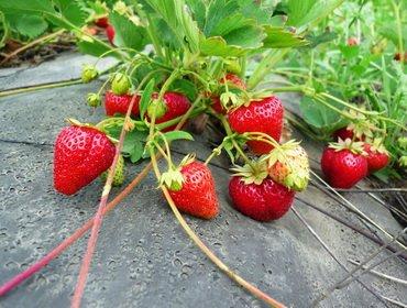 Как выращивать клубнику в открытом грунте: пошаговая инструкция