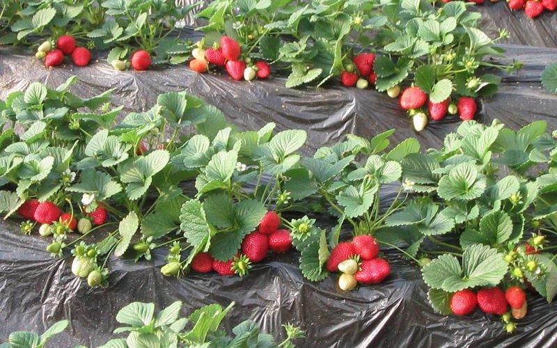 Как выращивать садовую землянику: выбор места