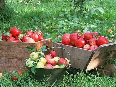Сбор урожая плодов и фруктов в саду