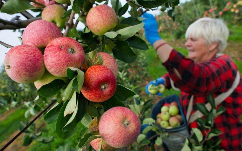 Подготовка к уборке урожая: инвентарь для сбора фруктов