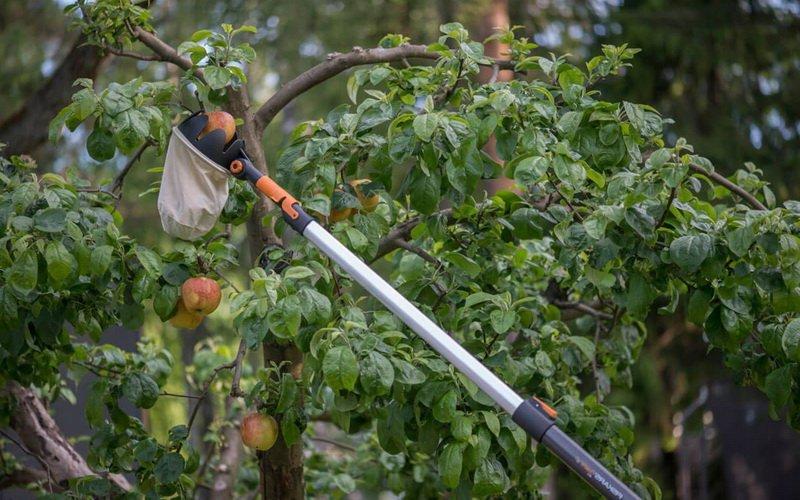 Как снимать фрукты с дерева, чтобы убрать урожай