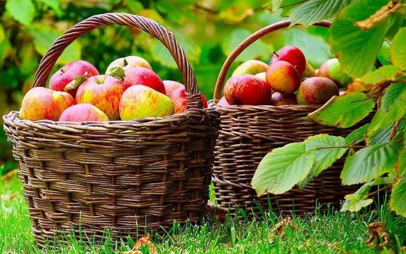 Сортировка урожая фруктов и фото правильной упаковки плодов