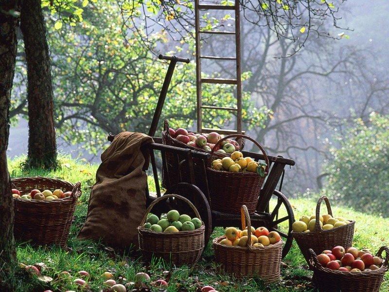 Лучше доставлять плоды непосредственно в корзинах  на фото