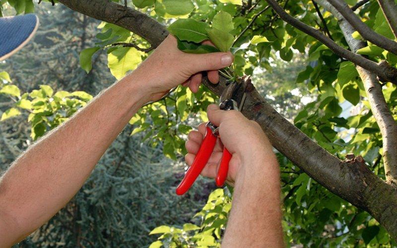 Формирование и обрезка садовых деревьев (с видео)