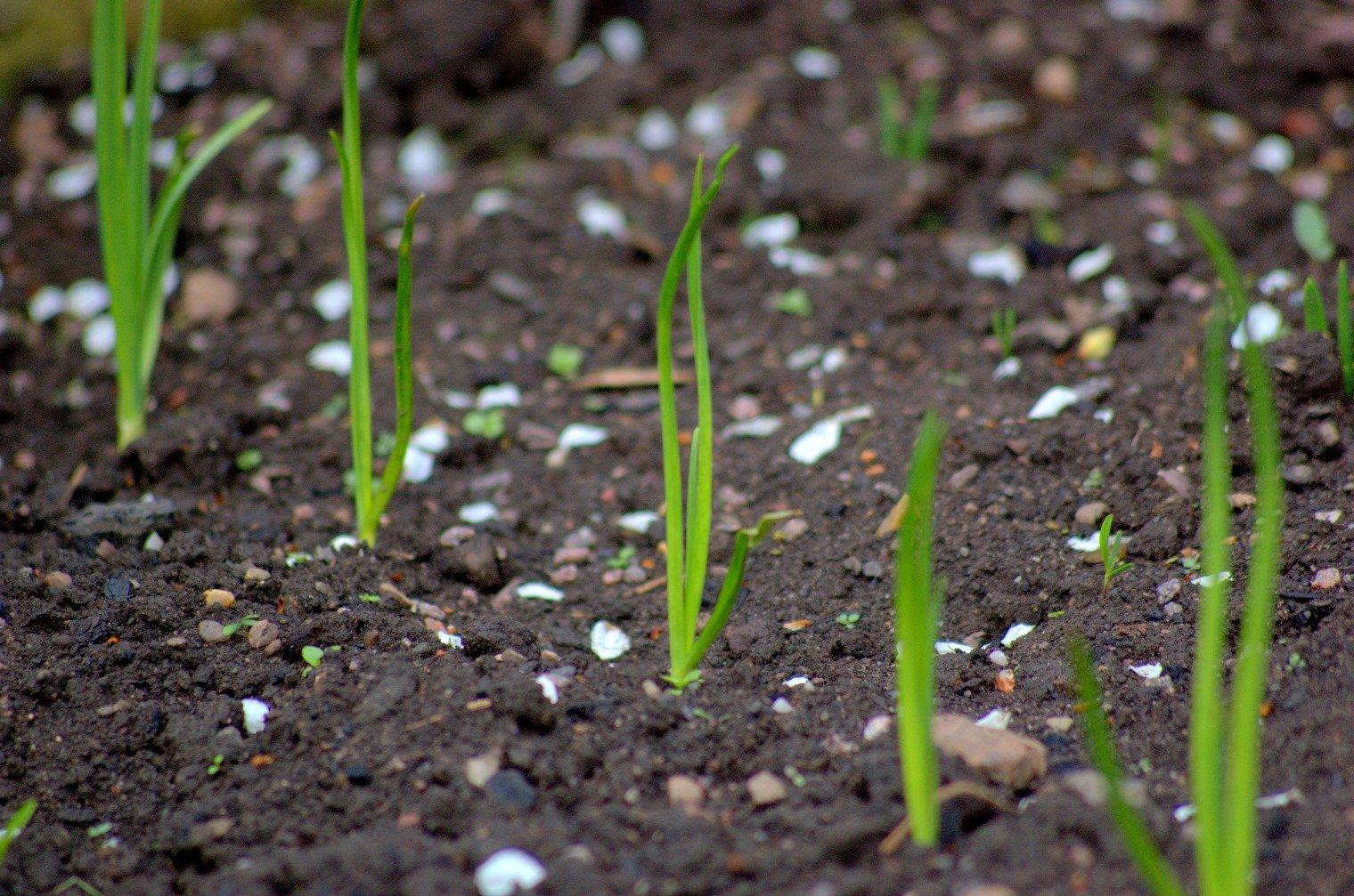 Как вырастить лук-севок из семян-«чернушки»