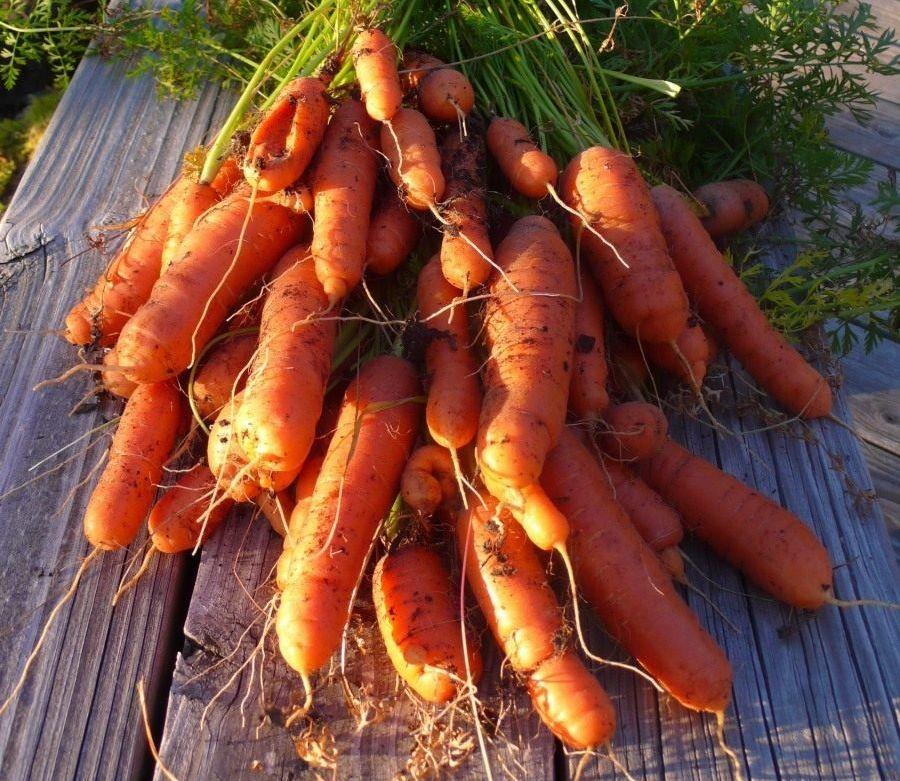 Как самому получить семена моркови и посадить их в грунт