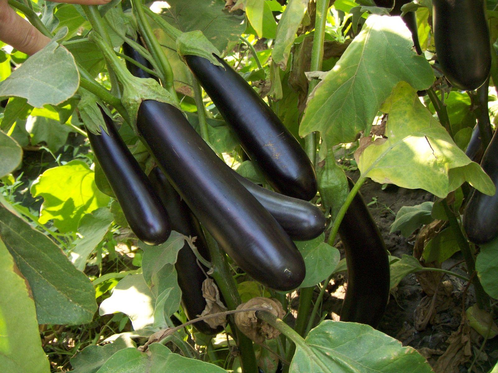 Баклажаны: фото и описание сортов, уход и выращивание