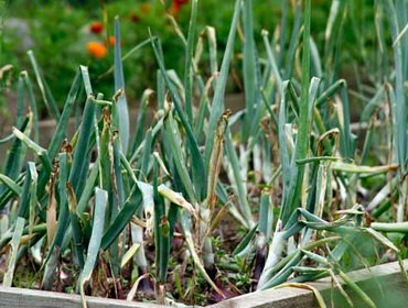 Болезни и вредители лука: описание и как защитить посадки