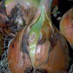 Болезни лука репчатого и их лечение народными средствами с фото