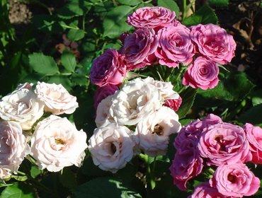 Розы оранжевые сорта — Цветы365