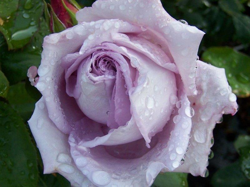 Цветок розы «Блю Мун» на фото