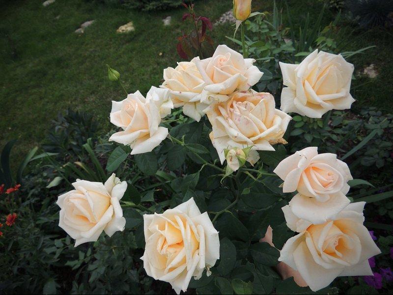 Сорт чайно-гибридных роз «Версилия» на фото