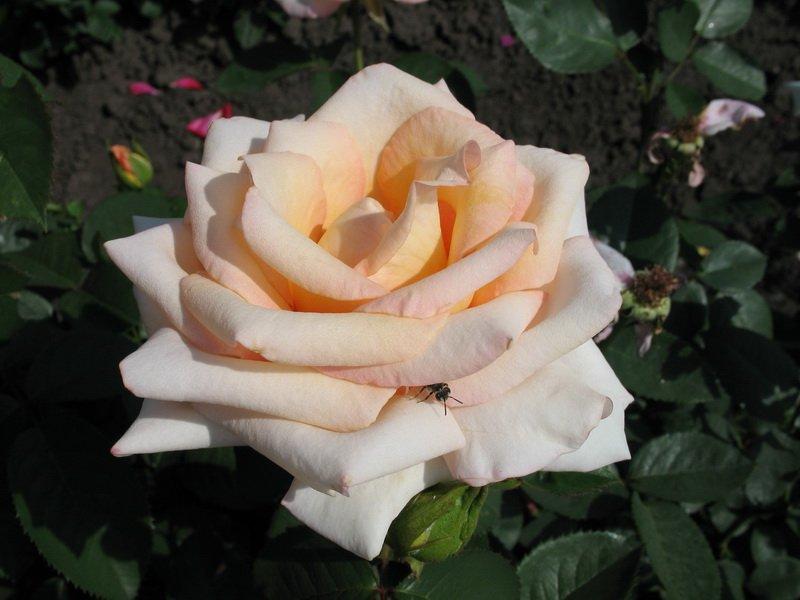 Роза «Версилия» на фото