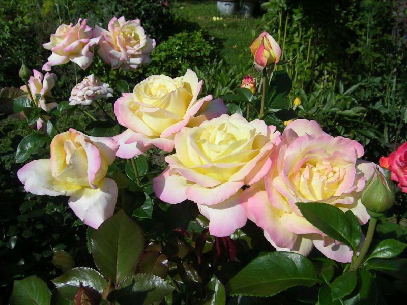 Сорт чайно-гибридных роз «Глория Дей» на фото