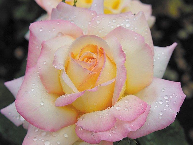 Роза «Глория Дей» на фото