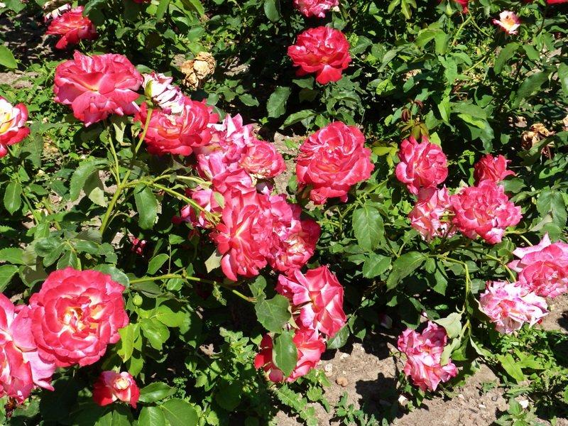 Сорт чайно-гибридных роз «Дабл Делайт» на фото