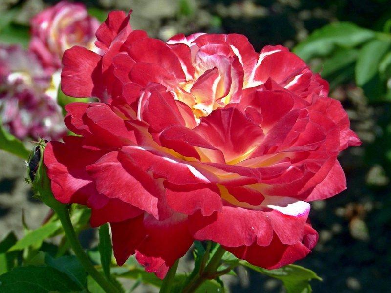 Роза «Дабл Делайт» на фото