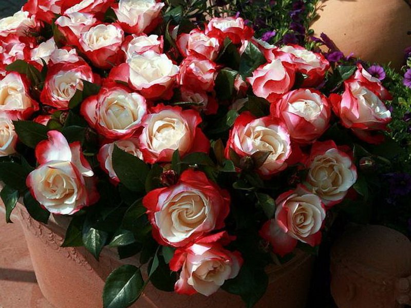 Сорт чайно-гибридных роз «Николь» на фото