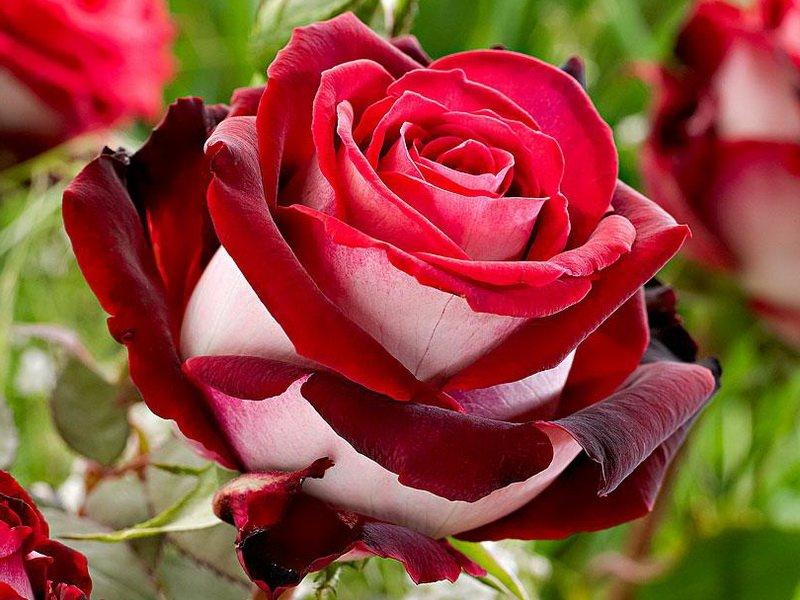 Роза «Николь» на фото