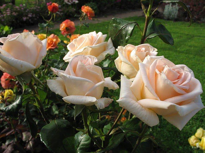 Сорт чайно-гибридных роз «Осиана» на фото