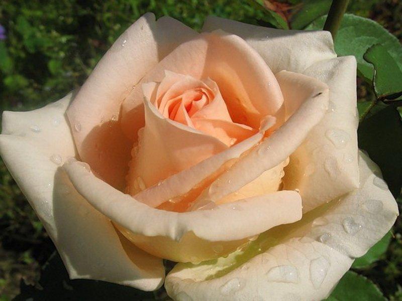 Роза «Осиана» на фото