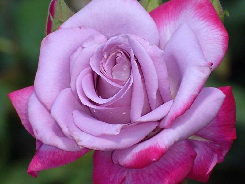 Роза «Парадиз» на фото