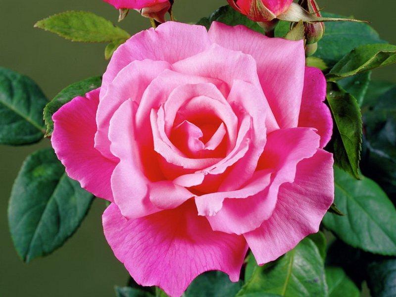 Роза «Прима Балерина» на фото