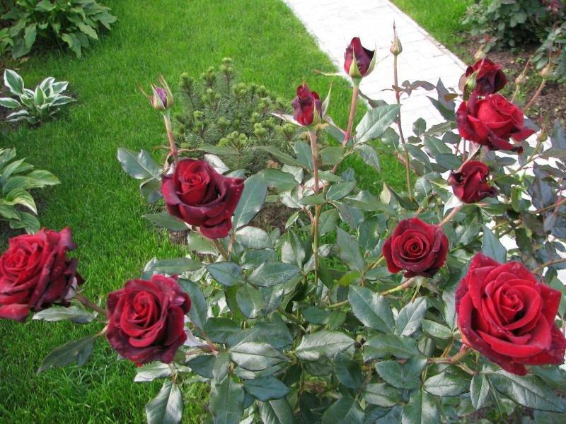 Сорт чайно-гибридных роз «Рафаэлла» на фото
