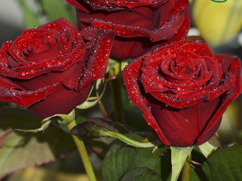 Роза «Рафаэлла» на фото