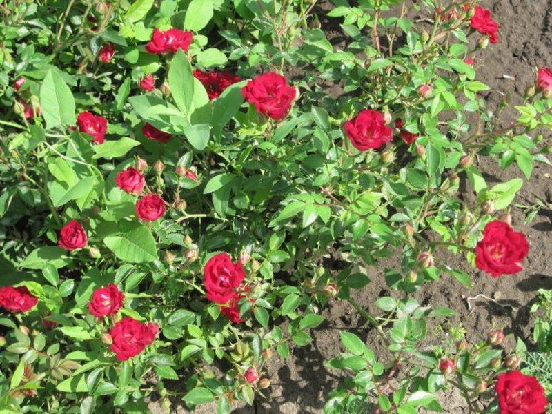 Сорт чайно-гибридных роз «Ред Вельвет» на фото