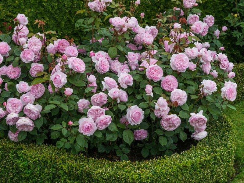 Чайно-гибридные розы очень декоративны в кустовой форме (фото)