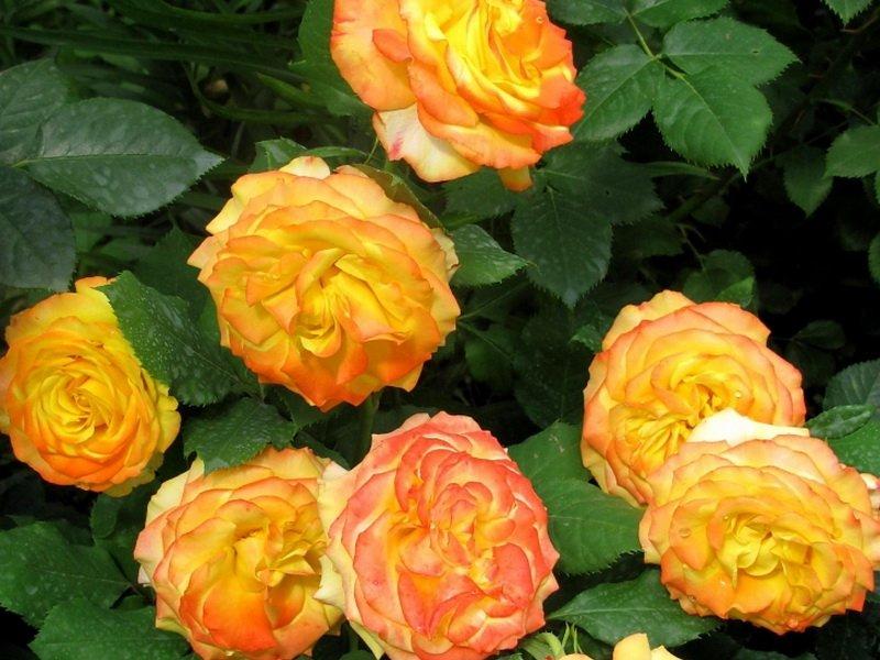 Сорт чайно-гибридных роз «Текила Санрайз» на фото