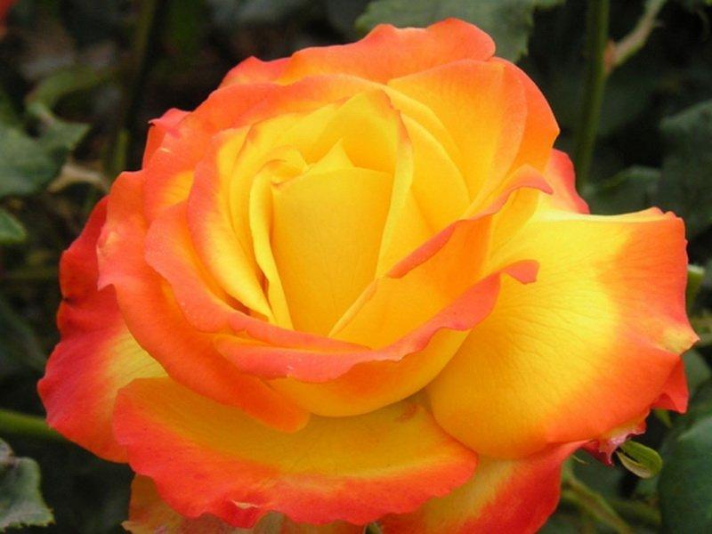 Роза «Текила Санрайз» на фото