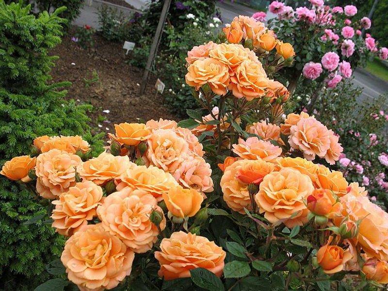 Сорт чайно-гибридных роз «Техас абрикосовый» на фото