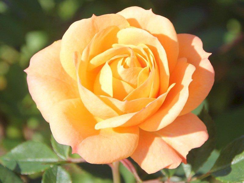 Роза «Техас абрикосовый» на фото