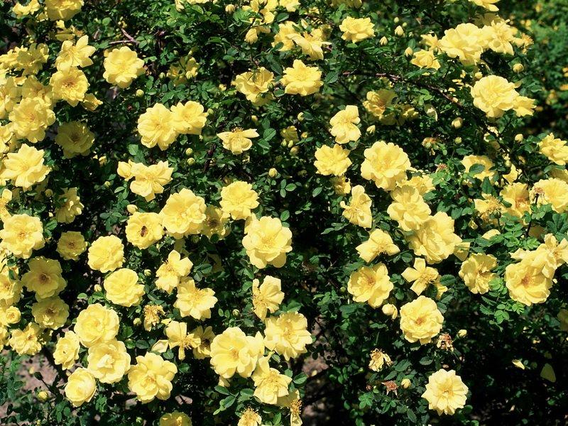 Сорт чайно-гибридных роз «Техас желтый» на фото