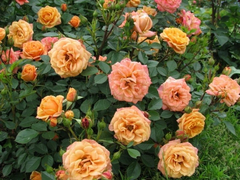 Сорт чайно-гибридных роз «Клементина»  на фото