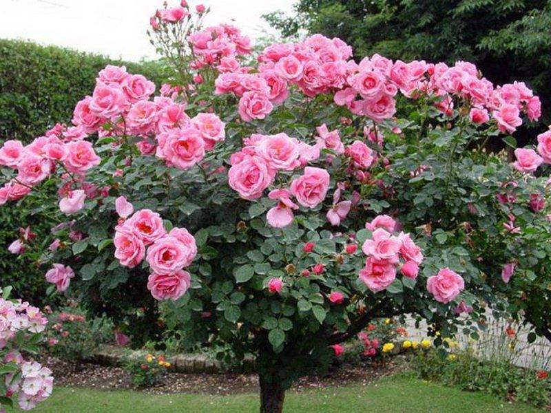 Чайно-гибридные розы очень декоративны в  штамбовой  форме (фото)