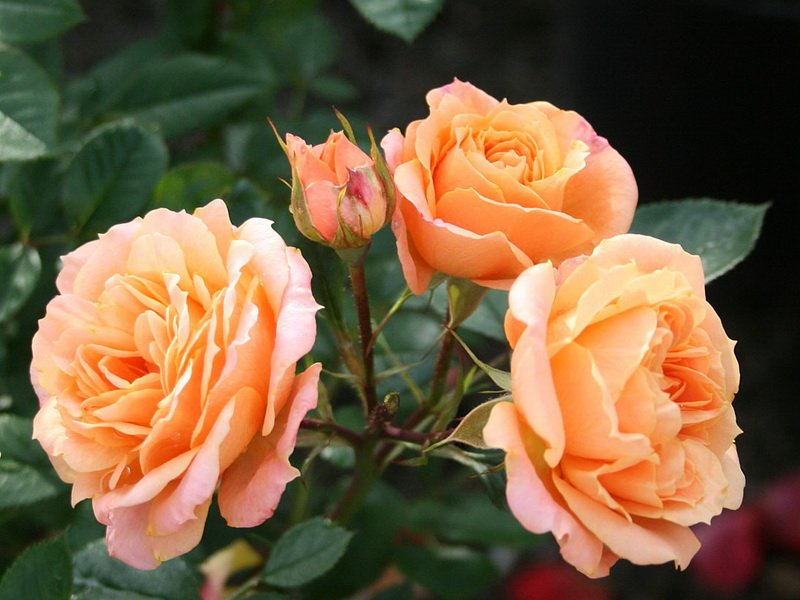 Роза «Клементина»  на фото