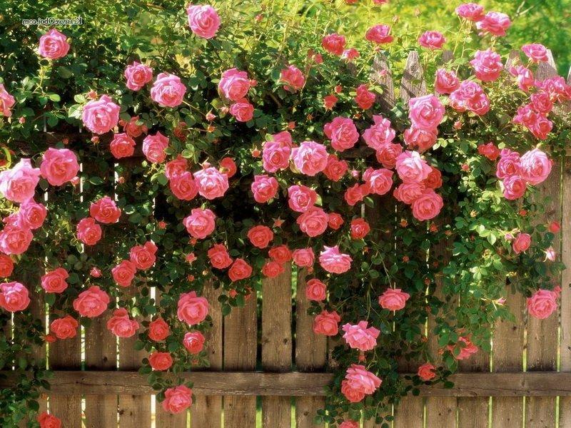 Сорт чайно-гибридных роз «Интерфлора» на фото