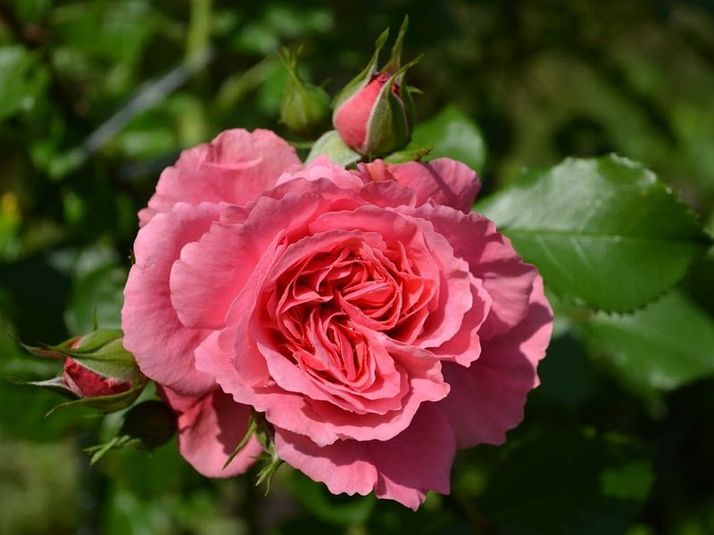Роза «Интерфлора» на фото