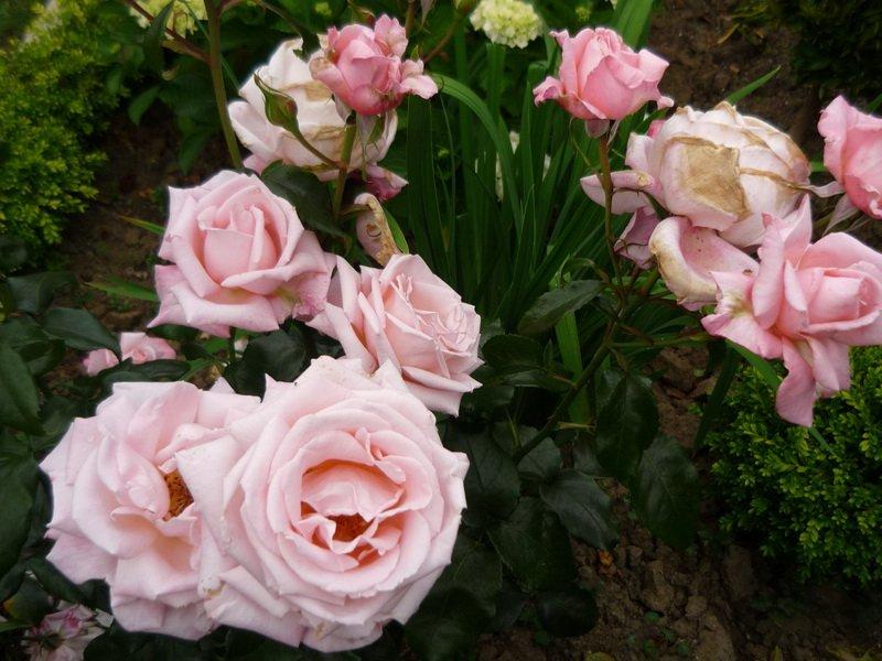 Сорт чайно-гибридных роз «Нью Зеланд» на фото
