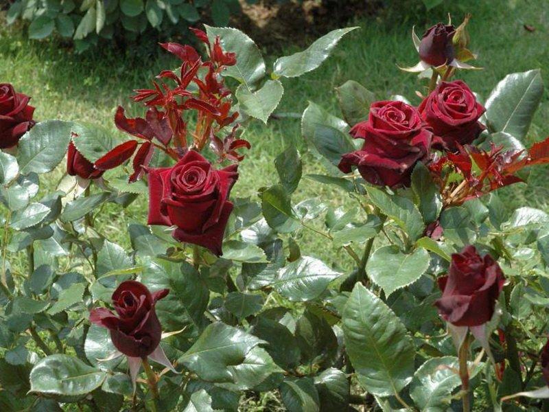 Сорт чайно-гибридных роз «Баккара» на фото